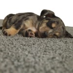 What's Underfoot? Tips for Finding Pet-Friendly Carpeting